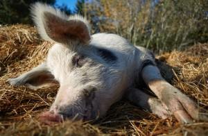 Immagine di una maiale