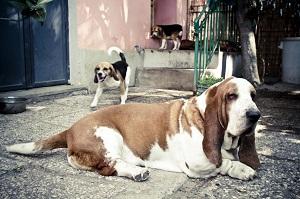 Immagine del cane beagle Nestore