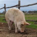 Immagine del maiale Alfred