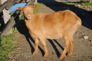Immagine della capra Giulia