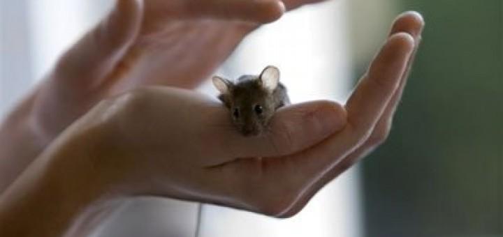 Immagine di un piccolo topo salvato dalla Sperimentazione Animale