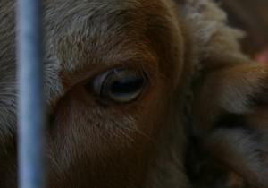 Immagine di una mucca in allevamento