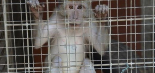 Immagine di un Macaco imprigionato in una gabbia